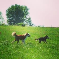 Ossian & Koda #PawNatural at the Farm
