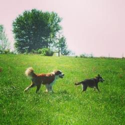 Ossian & Koda #PawNatural at the Farm